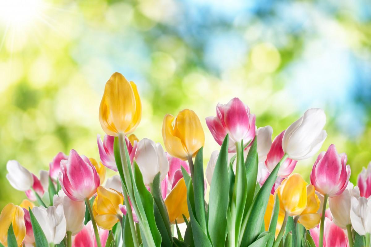 Бобруйск стал городом тюльпанов