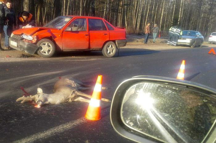 Водитель показал видео, как он сбил косулю. За ДТП получил штраф от ГАИ