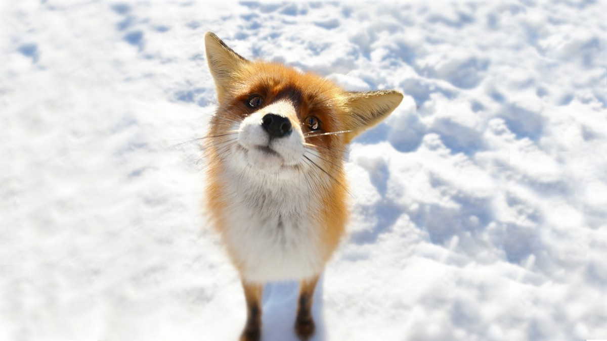 Вторую неделю ведут охоту на лису в Бобруйске