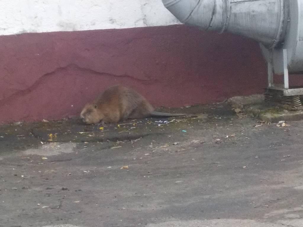 Как бобр попал в детсад Бобруйска: животное могло убежать от браконьеров и спрятаться
