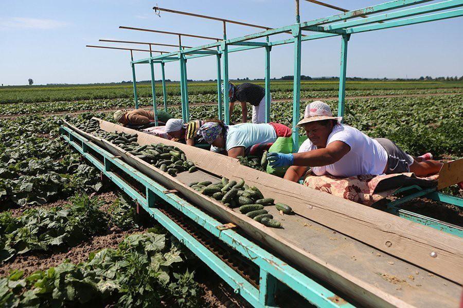 На полях IT-страны. В СПК «Свислочь» огурцы убирают лежащие на платформе трактора работницы