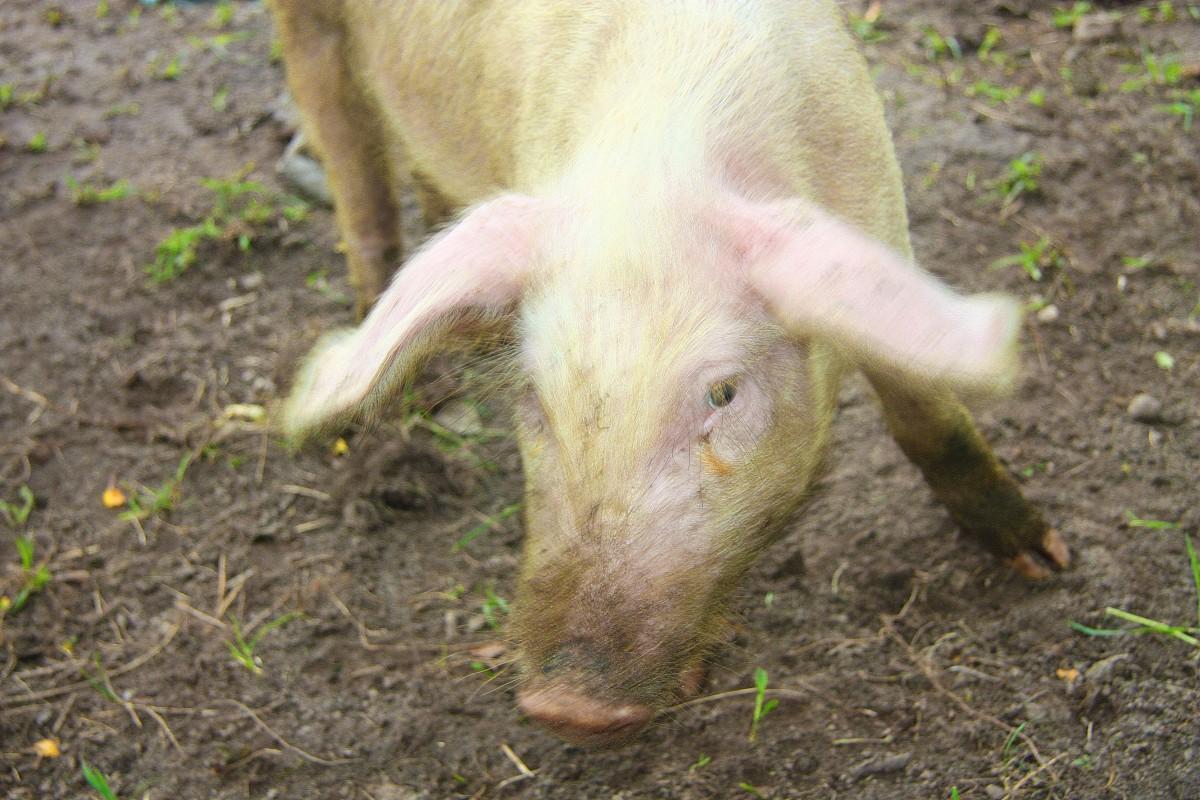 Свиной грипп и африканская чума свиней (АЧС) не одно и то же, но последствия могут быть одинаково катастрофичными
