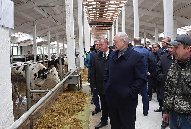 Лукашенко: Вопрос не столько в том, что коровы грязные. Те коровы обошлись стране на вес золота