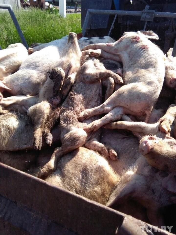 «Ложатся и умирают». В некогда образцовом хозяйстве под Рогачевом дохнут свиньи — от голода