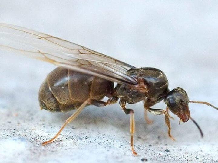 Полчища крылатых муравьев: откуда они взялись и стоит ли их бояться