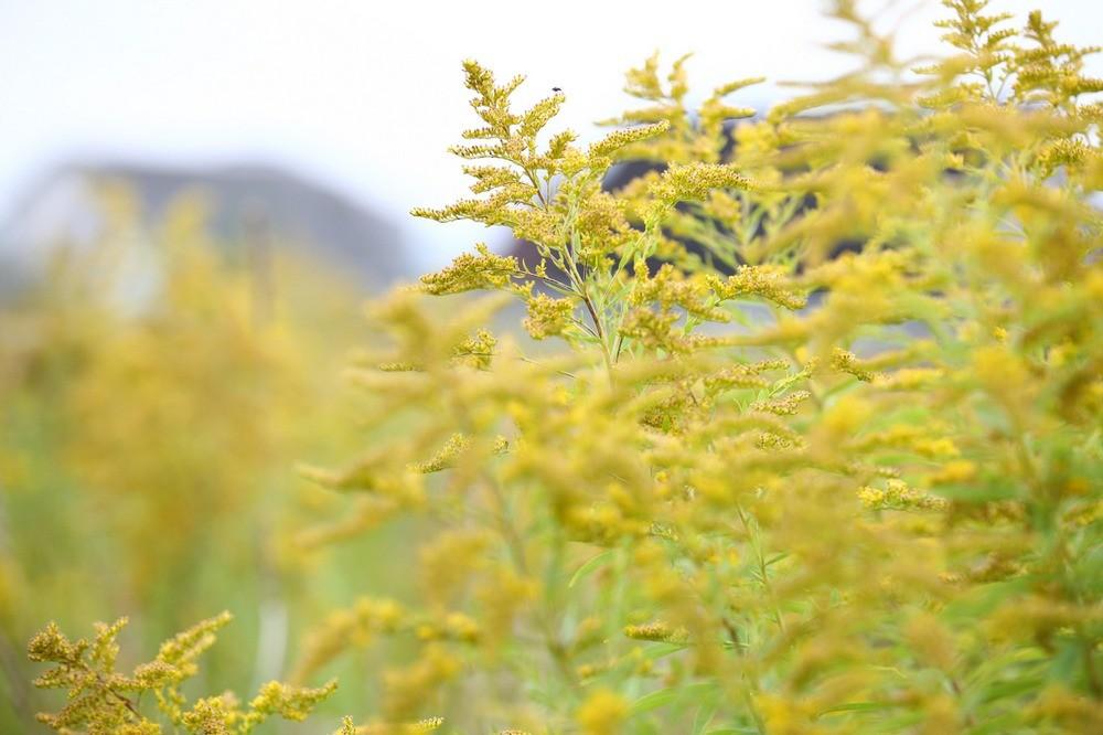 Цветок из палисадника в Могилевской области стал вредителем наравне с колорадским жуком