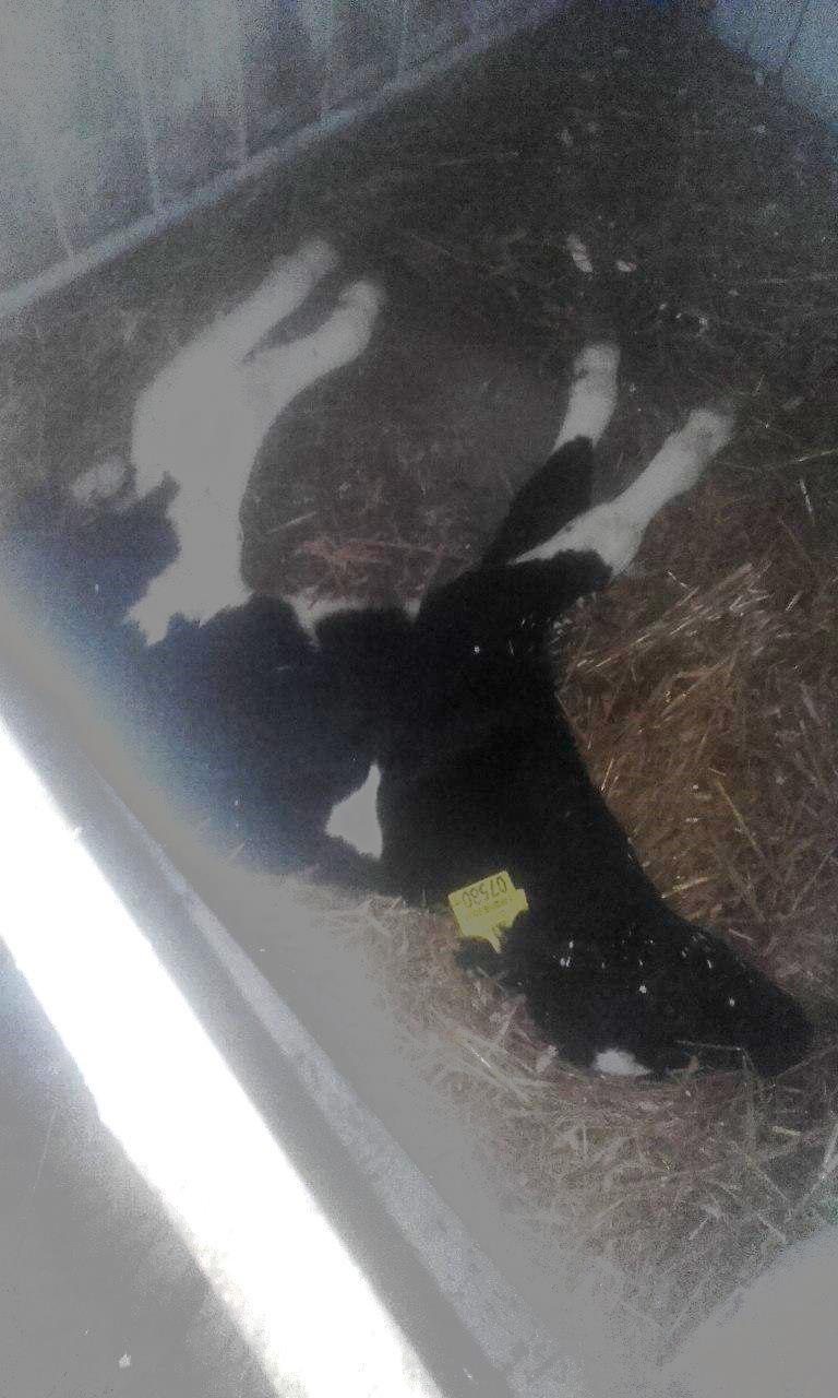 «Помогите!» Работники фермы под Горками показали мертвых телят и тощих коров в навозе«Помогите!» Работники фермы под Горками показали мертвых телят и тощих коров в навозе
