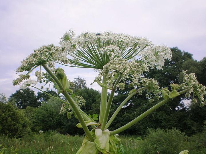 Самые опасные растения, которые есть в Беларуси