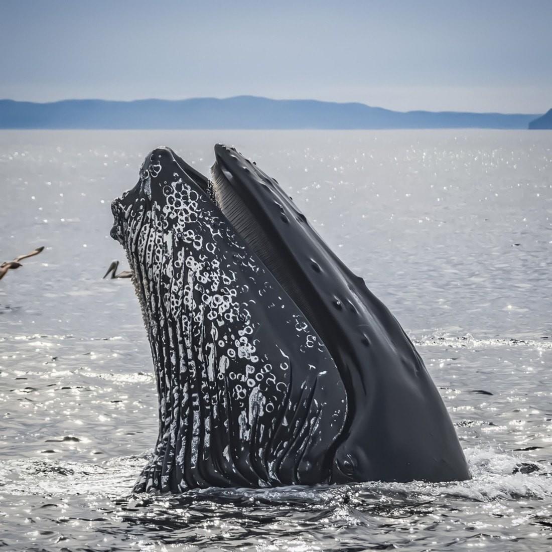 56-летний американец выжил после попадания в пасть горбатого кита. Это редчайший случай