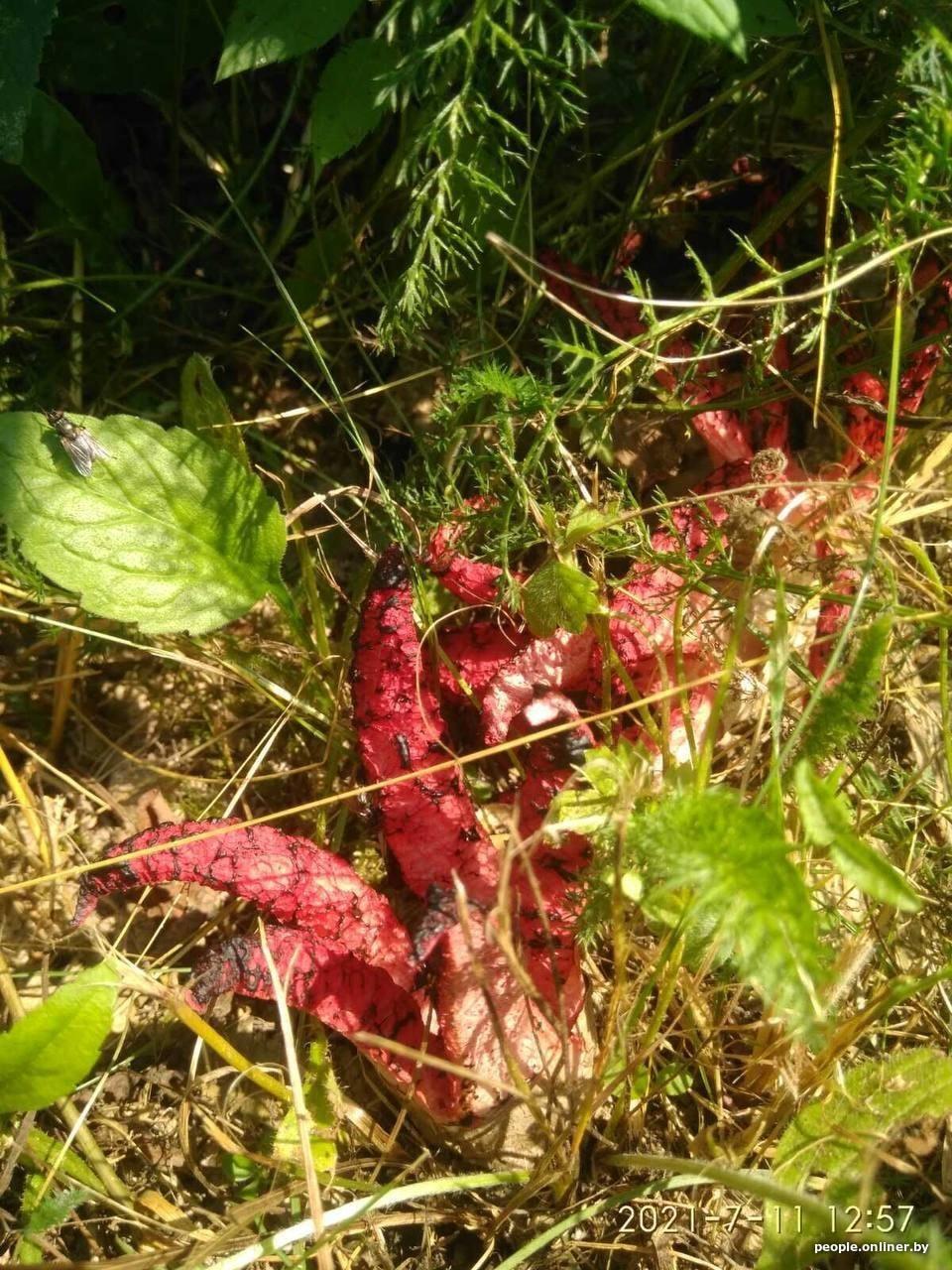 «Жуткий запах, будто в огороде умерла кошка или собака». В Беларуси впервые нашли очень редкий гриб — «пальцы дьявола»