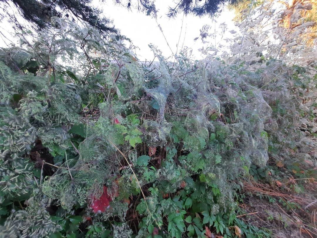 В Мозыре — нашествие гусениц. Они сотнями атакуют деревья, а еще забираются в жилые дома